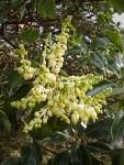 Madrone blossoms & foliage