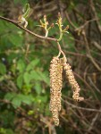 Red Alder female blossoms & male catkins