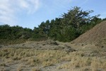 Sitka Spruce, Shore Pine, grasses at edge of dune [pan 3 of 3]