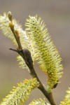Arroyo Willow male catkins detail