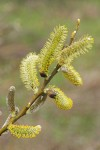 Arroyo Willow male catkins