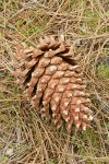 Grey Pine (Ghost Pine) cone