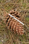 Grey Pine (Ghost Pine) cone w/ BIC pen for scale