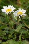 English Daisies blossoms & foliage