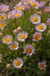 Cushion Fleabane
