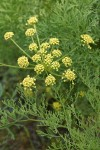 Thompson's Desert Parsley