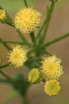 Columbia Ragwort blossoms detail
