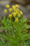 Brandegee's Desert Parsley
