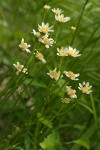Tower Butterweed