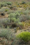 Columbia Cut Leaf, Big Sagebrush, Greasewood, Pale Evening Primroses in sandy environment
