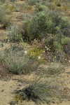 Columbia Cut Leaf, Big Sagebrush, Pale Evening Primrose in sandy environment