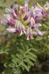 Columbia Milk-vetch blossoms & foliage detail