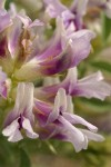 Columbia Milk-vetch blossoms extreme detail