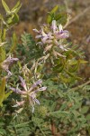 Columbia Milk-vetch blossoms, foliage, immature seed pods
