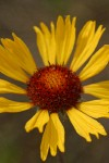 Blanket Flower blossom detail
