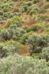 Big Sagebrush & Bitter Brush w/ Cheatgrass