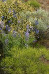Lupines & Delphiniums among Greasewood, Big Sagebrush, and Bitter Brush