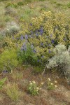 Lupines & Delphiniums among Bitter Brush w/ Greasewood, Big Sagebrush, Bastard Toadflax, Bluebunch Wheatgrass