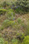 Lupines & Delphiniums among Greasewood, Big Sagebrush, Thread-leaf Phacelia, Bluebunch Wheatgrass