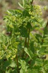 Celery-leaved Lovage blossoms & foliage