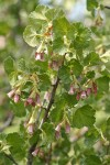 Wax Currant blossoms & foliage detail