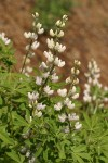 Tracy's Lupine (white form)