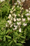 Tracy's Lupine (white form) blossoms & foliage