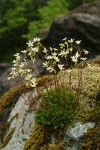 Spotted Saxifrage among moss on rock