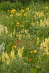 Wildflower meadow w/ Little Sunflowers, Sulphur Lupines, Harsh Paintbrush & Mules' Ears