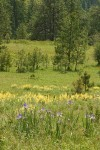 Rocky Mountain Iris, Sulphur Lupines in meadow w/ Ponderosa Pines bkgnd