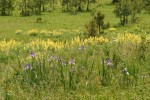 Rocky Mountain Iris, Sulphur Lupines in meadow