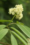 Black Elderberry blossoms & foliage