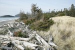 Wind-blown Sitka Spruce, beach logs, and grasses along West Beach