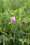 Common Vetch blossom & foliage detail