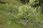 Western Serviceberry w/ Common Camas