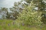 Western Serviceberry w/ Common Camas in meadow w/ Canoe Pass bkgnd