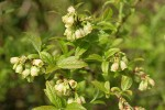 Velvetleaf Huckleberry blossoms & foliage