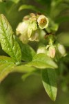 Velvetleaf Huckleberry blossoms & foliage detail