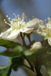 Pacific Crabapple blossom detail