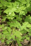 Mountain Sweet Cicely