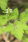 Mountain Sweet Cicely blossoms & foliage detail