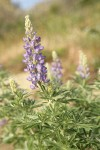 Silky Lupine blossoms & foliage