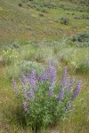 Tailcup Lupine among grasses