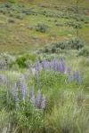 Tailcup Lupines among grasses