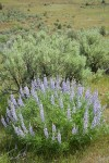 Tailcup Lupines w/ Sagebrush
