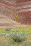 Golden Bee Plant & John Day's Pincushion in fold of Painted Hills