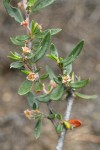 Curl-leaf Mountain Mahogany foliage & blossoms detail
