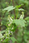 Western Black Currant blossoms & foliage