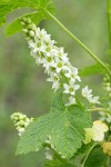 Western Black Currant blossoms & foliage detail