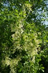 Two Petaled Ash blossoms & foliage